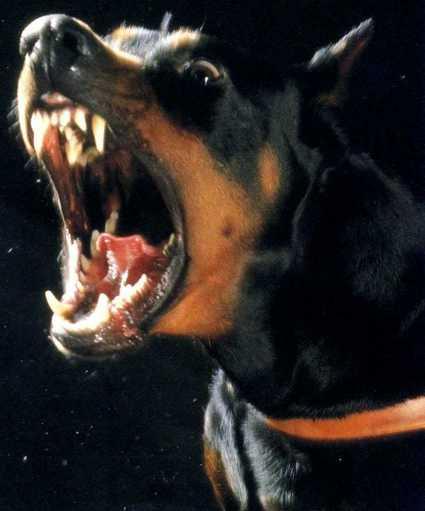 Доберман - собака с человечьим разумом. немецкая овчарка.
