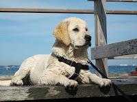 Adestramento de cães - Labradores