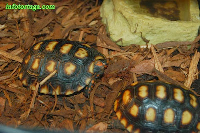 Dos crías de tortuga de patas rojas
