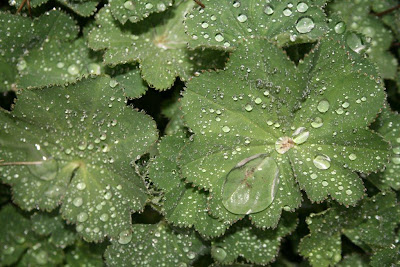 Lady's mantle with beads of rain