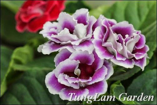 Tử la lan, hoa tử la lan, bán hoa tử la lan, cách trồng hoa tử la lan, nhân giống hoa tử la lan, tử linh lan, hoa tử linh lan, bán hoa tử linh lan, hoa nội thất, cây nội thất