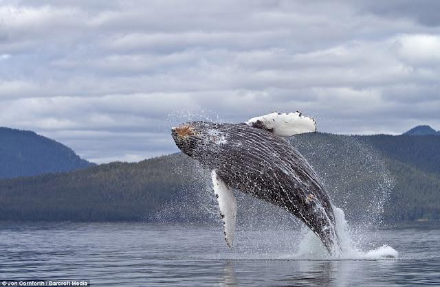 صـــــور مذهـلة للحيتان الحدباء وهي ترقص في مياة المحيط الهادئ في ألاسكا  Humpback%20whales03