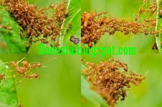 Penyebab Semut Rangrang  Mati