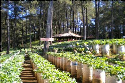 Kebun strawberry yang bisa dipetik sendiri
