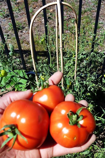 Tomato Success