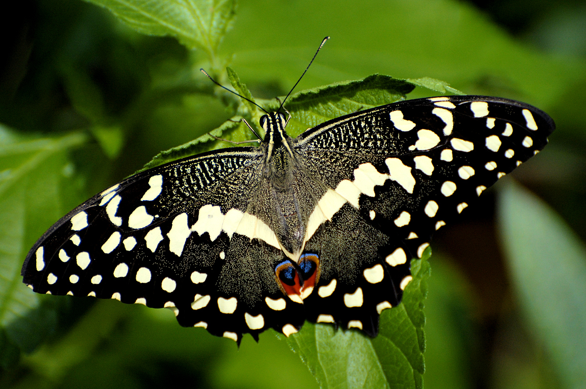 Butterfly - photo#17