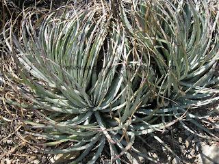 hechtia podantha clump