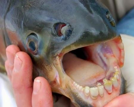Ikan Pacu