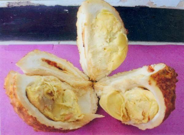 Spesies Buah Durian Tanpa Duri Yang Jarang Kita Lihat