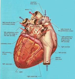 معلومات ستعرفها لأول مرة عن قلبك