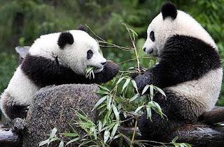 Osos Panda gigante comiendo hojas de plantas