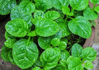 khasiat manfaat daun binahong