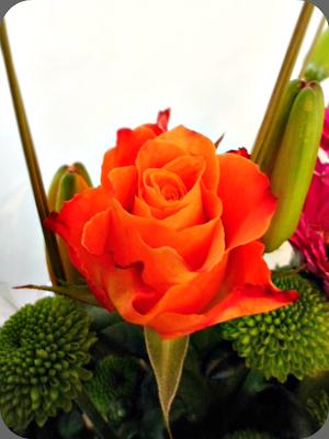orange rose vibrant