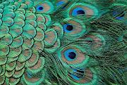 Peacock Palette