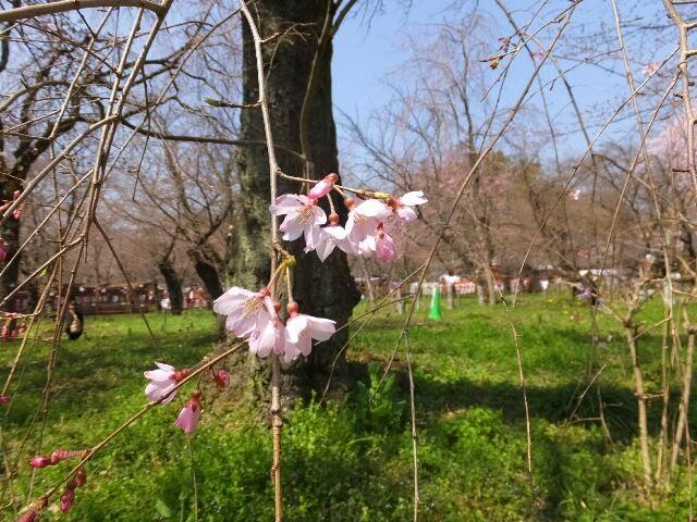 祇園円山公園にある枝垂れ桜、初代は平野神社が移植した。