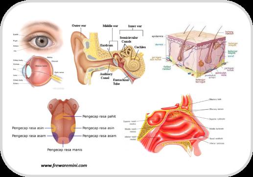Gambar panca indera anatomi pada tubuh manusia freewaremini