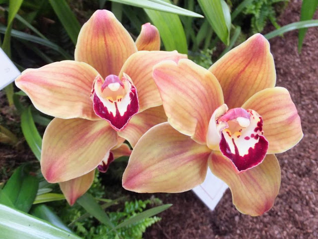 Cymbidium Mighty Mouse 'Minnie'