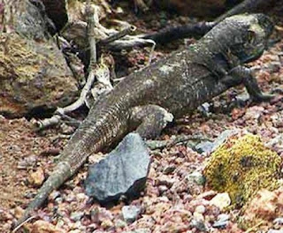 hierro giant lizard