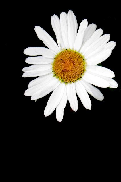 Daisy on Black by Beth Ann Strub