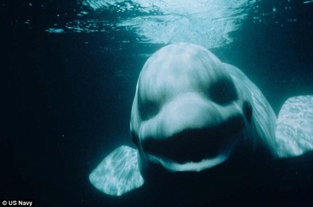 http://silentobserver68.blogspot.com/2012/10/la-balena-bianca-che-imitava-le-voci.html