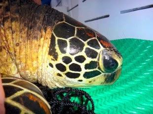 La migración hecha por 'Gina' una tortuga verde, desde la isla del Coco hasta Golfo Dulce