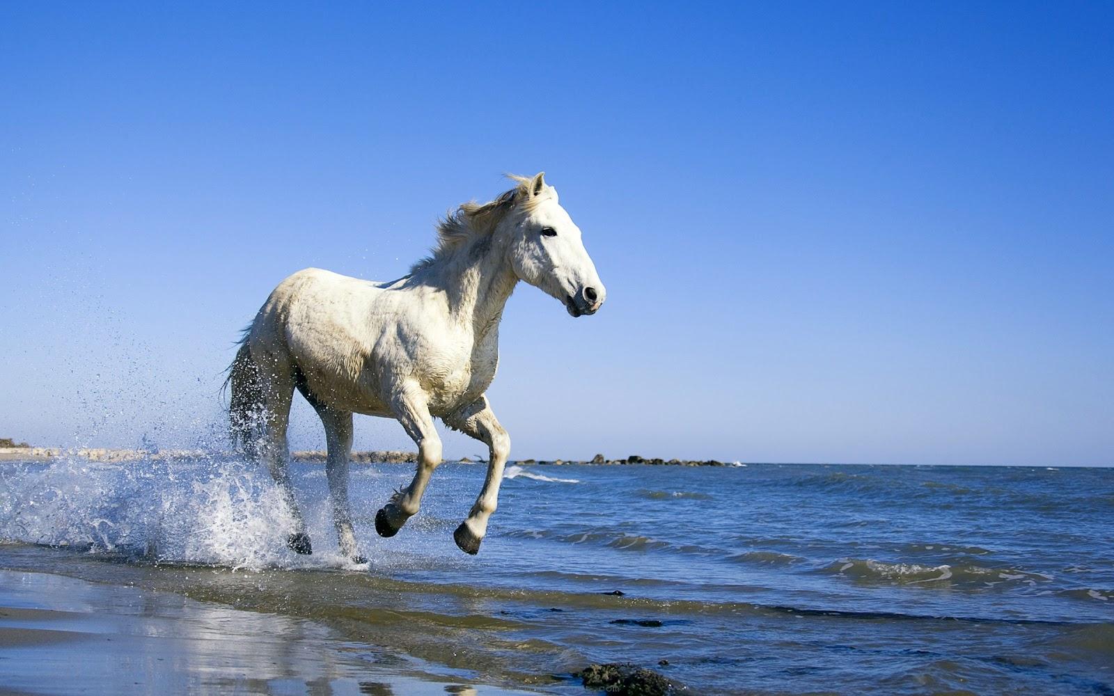 Great   Wallpaper Horse Creative - camargue+white+horse+hd+wallpaper  Photograph_672210.jpg