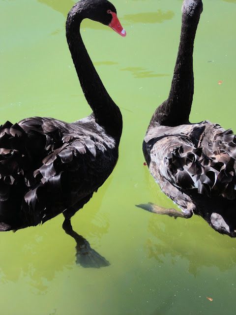 A pair of Black Swans greeted Penny on her stroll through the Palacio's gardens.
