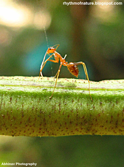 Macrophoto of Yellow Crazy Ant