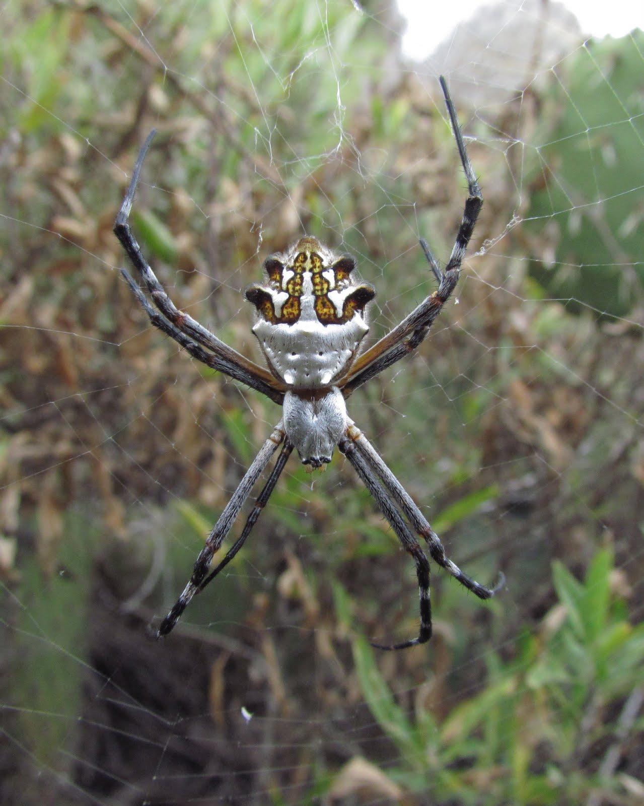 bug eric spider sunday silver argiope
