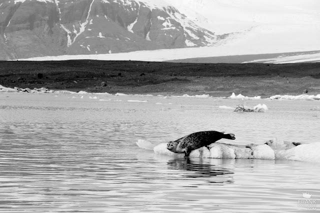foca sobre hielo en islandia