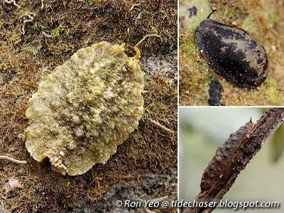 Onch Slugs (Family Onchidiidae)