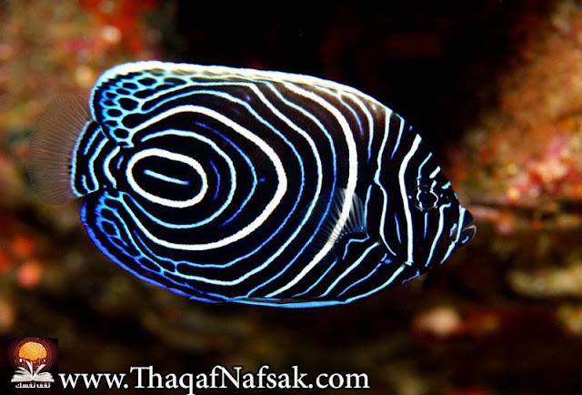 أجمل 10 أسماك ملونة في عالم البحار '' بالصور '' 3.jpg
