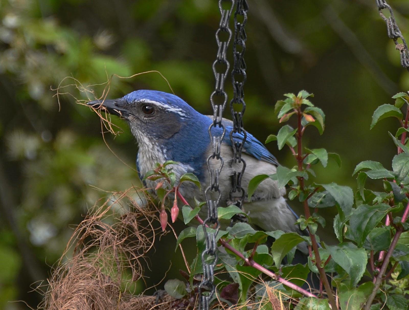 oregon backyard birds etc scrub jay u0027s nest building
