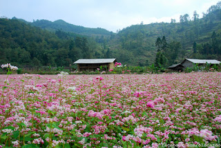 Festival circuit triangle flower in Ha Giang 1