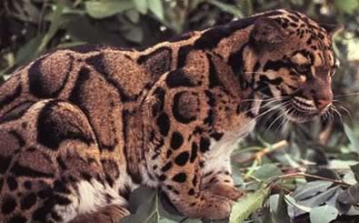 Harimau Paling Langka di Dunia Tertangkap Kamera