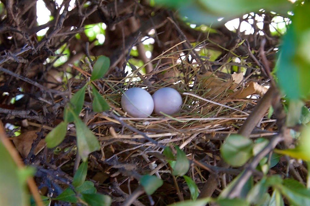 Mourning Dove Nest Focused on Fauna (and ...