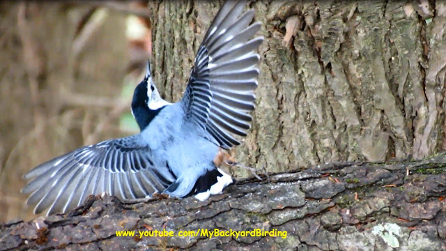 White Breasted Nuthatch Dance