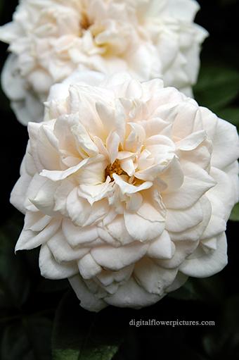 digital flower floribunda rose lion s rose. Black Bedroom Furniture Sets. Home Design Ideas