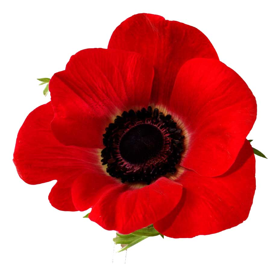 Beautiful Poppy Flower Pictures Our