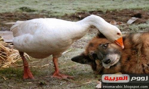 إوزة استطاعت ترويض كلب شرس بعد أن وقع في غرامها