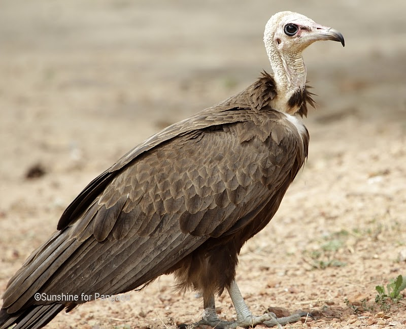 Hooded Vulture in Gambia