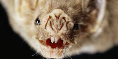 Ngeri, Kelelawar Vampir Ternyata Dapat Membaca Panas Tubuh Manusia