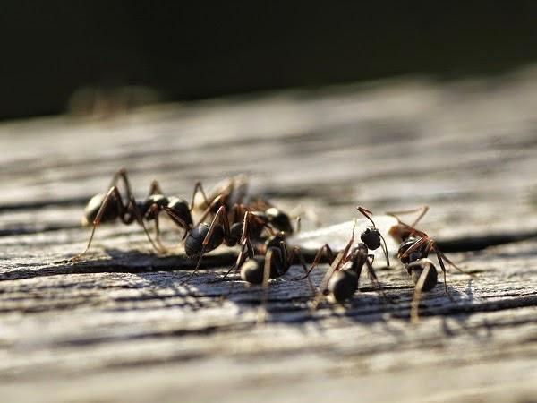 Hormigas cuidar de tus plantas es - Como eliminar hormigas ...