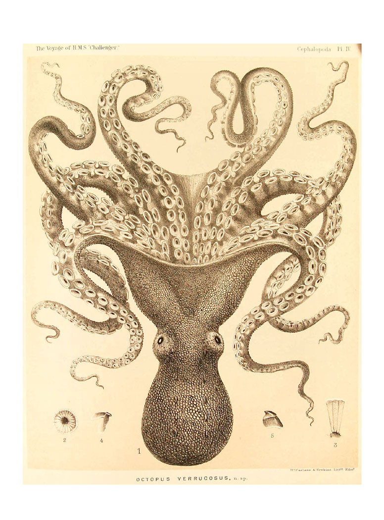 octopus+upside+down+giant+pacific+octopus+drawing.jpg