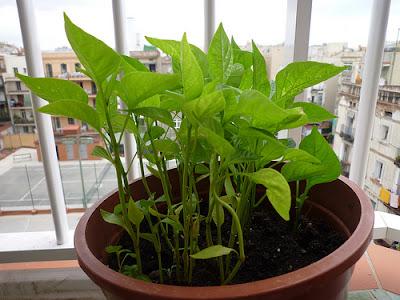 Como cultivar pimientos en maceta la huerta de ivan - Plantar en maceta ...