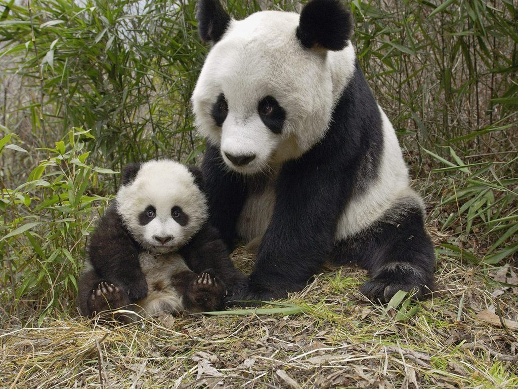 http://2.bp.blogspot.com/-kQR-TCylr6I/Tq0ka0Iib-I/AAAAAAAADJ0/-lOi-6A4B00/s1600/bear_pictures_Panda_Mother_Cub_wallpaperss.jpg