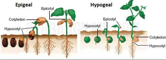 Gambar Epigeal dan Hypogeal dalam kecambah