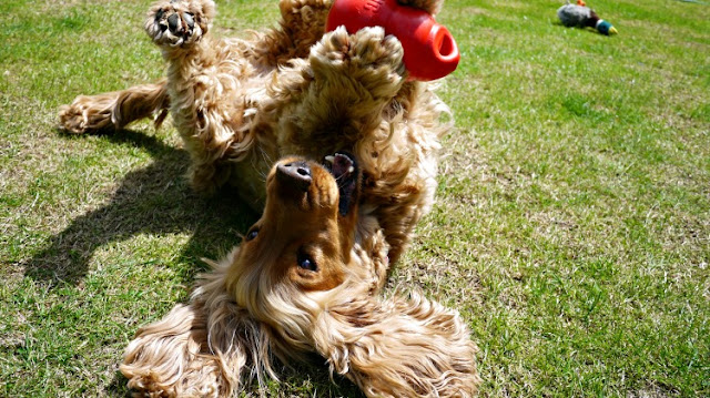 Golden Cocker Spaniel called Dylan playing with toy