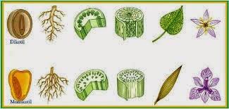 contoh tumbuhan dikotil