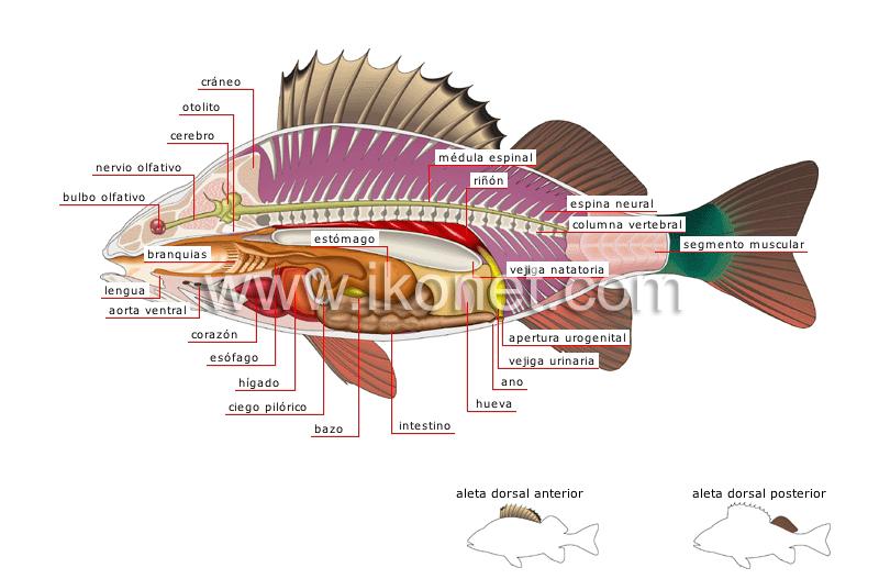 Vistoso Canal Anatomía Bagre Galería - Anatomía de Las Imágenesdel ...